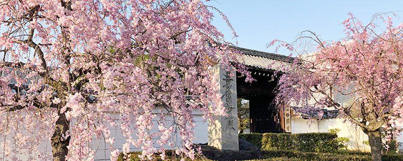 個人的お薦めの京の桜